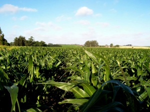 sweetcorn plantation in senegal