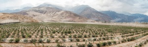 Peru spectacular growth in the cultivation of blueberries